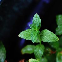 Mint by SharPhotography