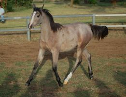 JA Arab rose yearlinh trot 3.4 side by Chunga-Stock