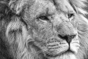 Lion in Black and White by mr-clandestine