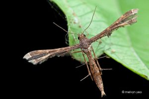 Plume Moth by melvynyeo