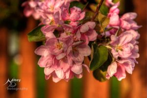 HDR Crab Apple Flowers by Nebey