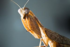 Praying Mantis Stock Image 3 by zpyder