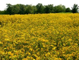 Field of Yellow Flowers 3 by FairieGoodMother