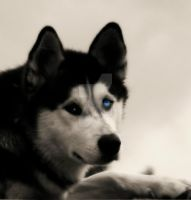 Husky B and w ( Mystic Eyes ) by ANDYBURGESS