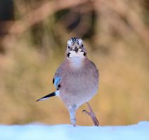 Jay by corsuse