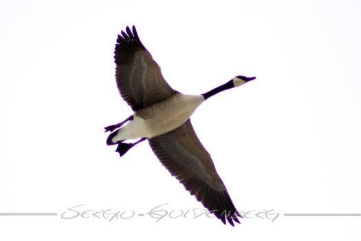 Canada Goose by Assinmypants