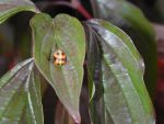 Coccinellidae by Snufver