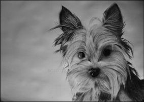 Bella - Yorkshire Terrier by Delvardian