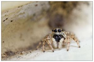 Cute Jumping spider by EdwinBont