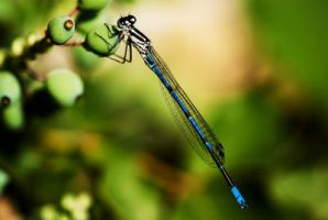 Blue dragonfly by TimeaHatvani