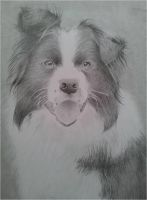 Border Collie drawing by megh95