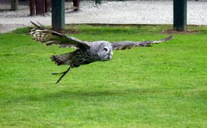 Great Grey owl in flight 4 by Steve-FraserUK
