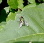 Green Bottle Fly (Outside) by AncientEchidna
