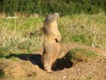 Marmot by collimarco