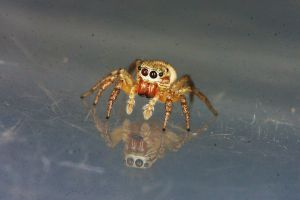 Jumping Spider by cathy001