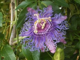 I love passion flowers by ingeline-art
