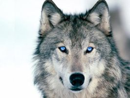 Blue Eyed Wolf by 1Feral