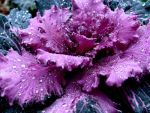 Ornamental Cabbage by Elva-Obscura