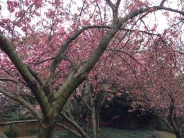 Brooklyn Botanic Garden - Pink Sakura Trees by Blueheart1331