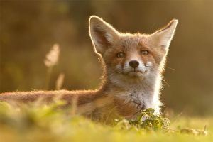 The Fox with the Golden Ear by thrumyeye