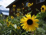 Sunflowers Here by BonnieLime