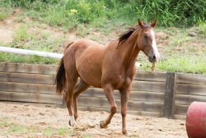 KM QH chestnut side view eyes closed by Chunga-Stock
