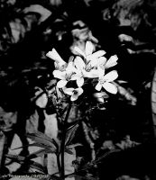 Submission for blackwhitephotos spring contest by ALNCreations