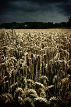 cornfield by Floridel