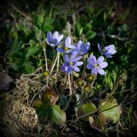 Common Hepatica II by Enalla