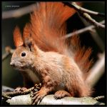 Eurasian Red Squirrel II by Haufschild