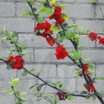 Red Blossoms 2 by Cattereia