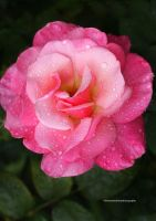 My Fair Lady. A Pink Garden Rose by theresahelmer