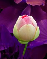 Lotus Bloom by TonicFeline