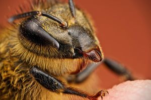 Lethargic Honeybee by dalantech