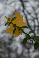 12-11 yellow leaf by evionn