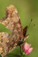 polygonia c-album closed by marob0501
