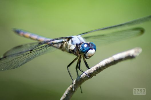 Dragonfly Macro by 2753Productions