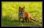 Fox Cub by andy-j-s