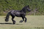Friesians-85 by Sooty-Bunnie