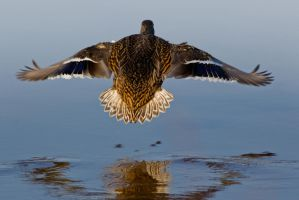 Duck Landing by bovey-photo