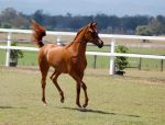 GE Arab filly chestnut trot tail flick up by Chunga-Stock