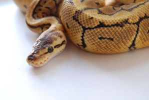Lemon Blast Ball Python 10 by FearBeforeValor