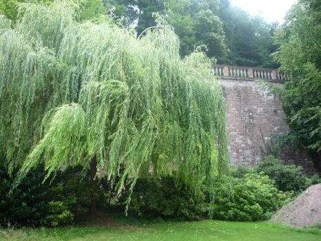 Weeping Willow by Isis-Moon
