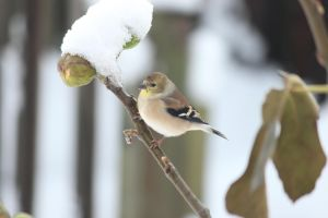 American Goldfinch winter plumage by Laur720