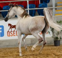 White arabian /red patches/ 1 by xxMysteryStockxx