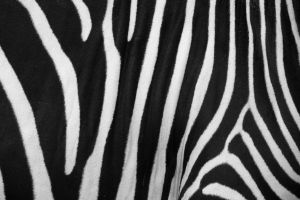 Zebra Skin by photolight