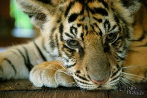 Baby tiger 2 by Chiaralovestwilight