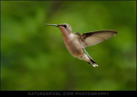 Ruby-Throated Hummingbird II by Sonny2005