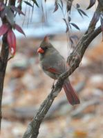 Female Cardinal 1-18-11 by Tailgun2009