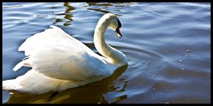 Linlithgow Swan by FlippinPhil